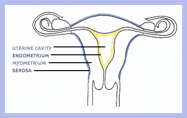 For uterine fibroids basic anatomy and physiology of the uterus sciox Gallery